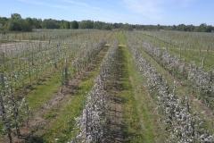 Žydintis sodas
